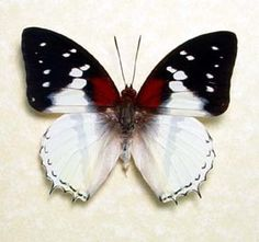 Charaxes Red Spot Real Butterfly Conservation Display 625. $39.99, via Etsy.