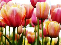 Tulip Fine Art Print by PhotoINC Studio at FulcrumGallery.com