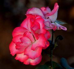 Nicole FloriBunda Rose by Rohit Galwankar, via 500px