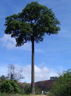 JEQUITIBÁ-BRANCO   Florestas Nativas