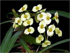 Euphorbia annamarieae