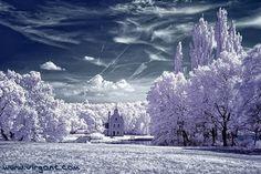 Cherry Blossom via infrared