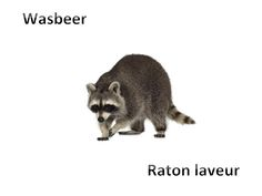 Wasbeer - Raton laveur