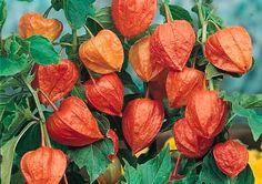 Chinese Lantern Plant seeds - Garden Seeds - Perennial Flower Seeds