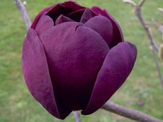 Buy magnolia Magnolia 'Black Tulip (PBR)' - Mouth-watering, dark purple flowers: Delivery by Waitrose Garden in association with Crocus Rare Flowers, Amazing Flowers, Beautiful Flowers, Deciduous Trees, Trees And Shrubs, Trees To Plant, Black Tulips, Black Flowers, Gardening