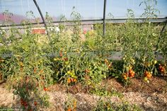 Roșiile din solar , peste 30 de varietăți heirloom Vineyard, Solar, Cottages, Outdoor, Plant, Lawn And Garden, Outdoors, Cabins, Country Homes