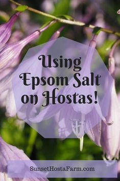 Since the beauty of hostas lies in those gorgeous leaves, it is only natural to seek out an organic soil amendment to enhance leaf color. Try Epsom Salt, shade garden Use of Epsom Salt on Hostas Garden Yard Ideas, Lawn And Garden, Garden Projects, Garden Layouts, Garden Junk, Backyard Ideas, Diy Projects, Organic Soil, Organic Gardening