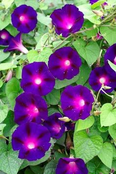 The strong, long vines carry good sized blooms that are deep violet with a cerise star. A very dark morning glory. Soak or notch seeds before planting. 20 seeds #gardenvinesideas