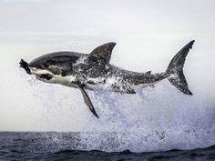 Tubarão atacou isca feita de borracha (Foto: Dana Allen / Caters)