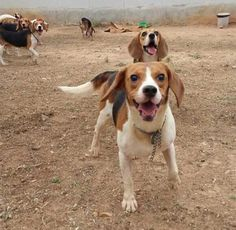 Recently Rescued From A Lab In Bangalore, 156 Cute #Beagles Are Up For #Adoption #animallovers #dogs #dogadoption