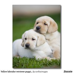 Yellow labrador retriever puppies postcards