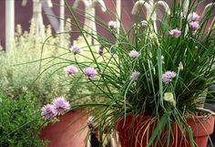 Potted herb gardens add beauty to balcony or patio...plus they can be used in the kitchen!