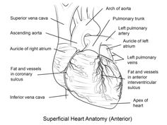 H is for Heart Anatomical Free Valentines Day coloring pages