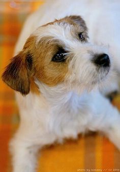 Rough-coat Jack Russell Terrier ... They are SUCH characters!