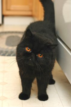 black exotic short hair, aka the cutest cat EVER.