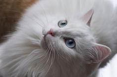 Warning that cats can get sunburn that could result in skin cancer. /  click for read and cat video