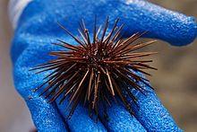 Sea urchin - Wikipedia, the free encyclopedia