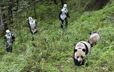 Un gruppo di ricercatori trasferisce due esemplari di panda gigante nel parco di Wolong, in Cina. (China Daily/Reuters/Contrasto)