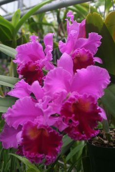 Cattleya orchid - My favorite flower. They are beautiful and their fragrance is intoxicating. Someday I'd like to own one.