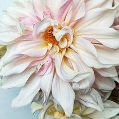 """Mi piace"": 22, commenti: 0 - Loretta K (@blooming_lovely_tamborinemount) su Instagram Exotic Flowers, Amazing Flowers, Pink Flowers, Macro Flower, Flower Art, Purple Flowers Wallpaper, Floral Photography, Flower Photos, Flower Arrangements"