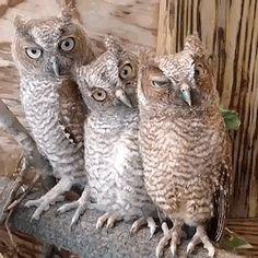 owls (gif)