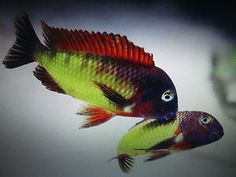 5 X 5-6 CM TROPHEUS ILLANGI ,LAKE TANGYNIKAN CICHLIDS at Aquarist Classifieds