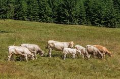 JSPuzzles - Play free Jigsaw puzzles online - Cows in the Meadow