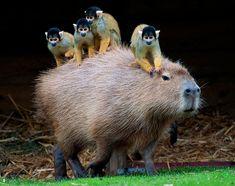 Squirrel monkey & Capybara by sandra #Squirrel_Monnkey #Capybara