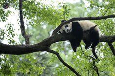 Giant panda rests on tree panda kindergarten, a refuge for baby pandas, inside Bifengxia giant panda base in Ya'an. STRINGER/CHINA/REUTERS