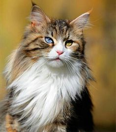 Odd eyed maine coon-a beauty!