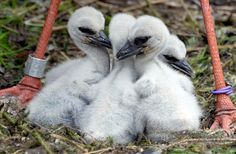 Stork chicks sit in their nest at the Wildpark Eekholt deer park near Grossenaspe, Germany on April 29, 2015.