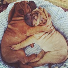 Twinkle and Nod believe that hugging a Shar Pei puppy every day lowers your blood pressure.  I agree. ~ Houston Foodlovers