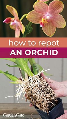 Growing Orchids 101 How to grow orchids for beginners. Easy care orchid types, orchid growing tips, how to keep your orchids happy and much more! Don't be intimidated.give these beautiful and exotic flowers a try. Orchids In Water, Indoor Orchids, Orchids Garden, Vanda Orchids, White Orchids, Indoor Plants, Orchid Plant Care, Orchid Plants, Orchid Repotting