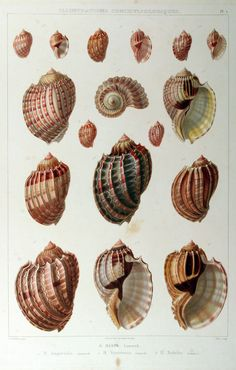 I like the form of these shells, they could give me ideas for ceramic structures Science Illustration, Nature Illustration, Botanical Illustration, Botanical Prints, Vintage Prints, Vintage Art, Scientific Drawing, Merian, Vintage Drawing
