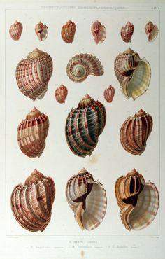 Illustrations conchyliologiques ou description et figures de toutes les coquilles connues vivantes et fossiles, classées suivant le système de Lamarck modifié d'après les progrès de la science et comprenant les genres nouveaux et les espèces rècemment découvertes. (1842)