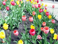 Cara Menanam Tulip di Indonesia