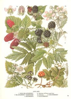 wild raspberry flower botanical print - Google Search