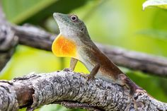 Photos: Lizards Of Bermuda Paradise Island, Flora And Fauna, Lizards, Beautiful Islands, Staycation, Art Ideas, Mosaic, Wildlife, Photos