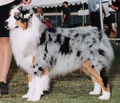 Australian Shepherd Breeders Utah