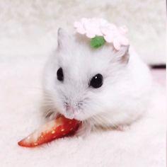 ♡みるく♡さんはInstagramを利用しています:「おはようございます☺️ 昨日のみるくでち 大好きな苺を、うまうましましたよ ママたんが撮影用にって苺の向きなんて気にするから みるくの食い意地はってるのバレちゃいまちた ごめんね取らないよ〜〜…」