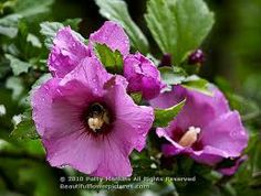 Last summer I photographed several Rose of Sharon (Hibiscus Syriacus) flowers. Rose of Sharon are members of the Hibiscus genus and the Malvaceae family. Originally native to Asia, the Rose of Shar…