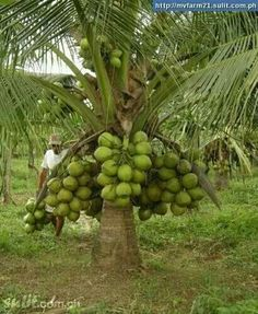 Get inspired to decorate your home with Backyard Palm Trees, many types which you may choose from. Transform your home feel like to be a tropical resort. Fruit Plants, Fruit Garden, Garden Trees, All Plants, Tropical Garden, Live Plants, Fruit Trees, Palm Trees, Exotic Fruit