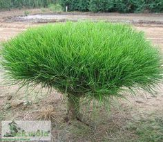 krzewy - Szukaj w Google