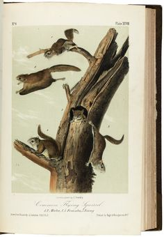 Quadrupeds of N America 1851 Common Flying Squirrel Canvas Art - JJ Audubon x Engraving Illustration, Botanical Illustration, N America, North America, Flying Squirrel, John James Audubon, Curious Creatures, Vintage Drawing, Zoo Animals