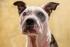 Meet Peaches, an adoptable Pit Bull Terrier looking for a forever home. If you're looking for a new pet to adopt or want information on how to get involved with adoptable pets, Petfinder.com is a great resource.