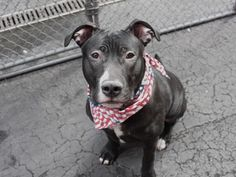 """SAFE❤️❤️ 3/26/16 BY POUND HOUNDS RES-Q❤️ THANK YOU❤️ TEMOTO - A1067758 - - Manhattan Please Share: TO BE DESTROYED 03/26/16 **ON PUBLIC LIST** A volunteer writes: The first English translation of the Japanese word """"Temoto"""" is """"on hand."""" The second is """"at home."""" I think I'll take the second. Surrendered to our care as his owner was moving where he wasn't welcome, 8 month-old Temoto is a wildly adorable young lad and, boy, does he know it. He waits for me quietly in his kennel,"""