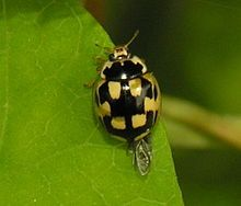 In this coccinellid the black spots are so large that they meet and leave only patches of yellow as spots. In some species the black is so extensive as to form the background to small coloured spots. In some species either type of pattern occurs