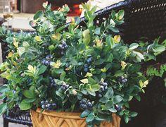 blueberries on the patio, container gardening, decks, gardening, patio