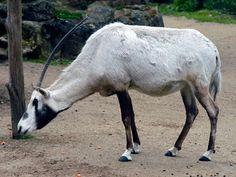 Arabian Oryx-Endangered animals list-Our endangered animals | KONICA MINOLTA