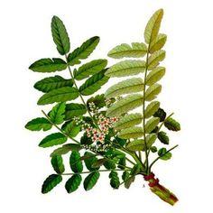 La Griffe du diable (Harpagophytum procumbens; l'extrait de racine séché), originaire de l'Afrique du Sud est un remède traditionnel pour la fièvre et le paludisme mais il est utilisé de nos jours comme un analgésique naturel, anti-inflammatoire et une aide dans la guérison des blessures.